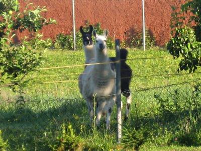 2 Lamas