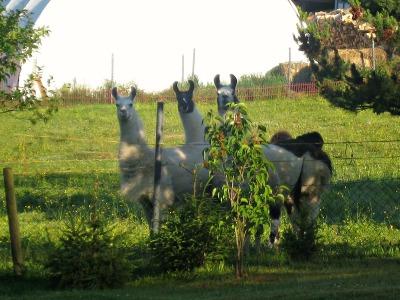 3 Lamas