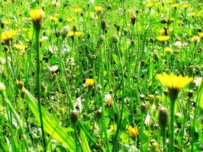 Die Sommerwiese - Wiese mit Habichtskraut und Klee