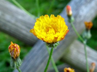 Gelbe Bluete - Habichtskraut